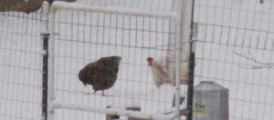 Chickens at their feeders in the snow