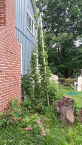 Cascade Hops, used in Hopleaf Mead