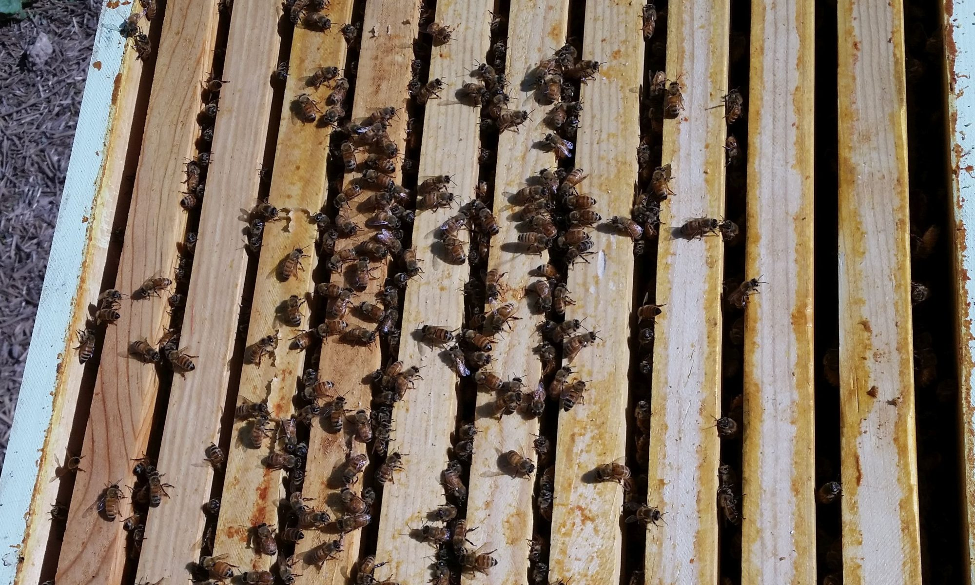 Bees atop the hive frames
